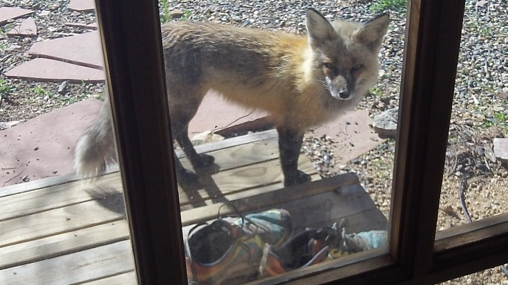 "Our ""pet"" fox...aka ""Little Prince"""